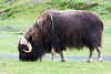 Musk ox at AWCC.