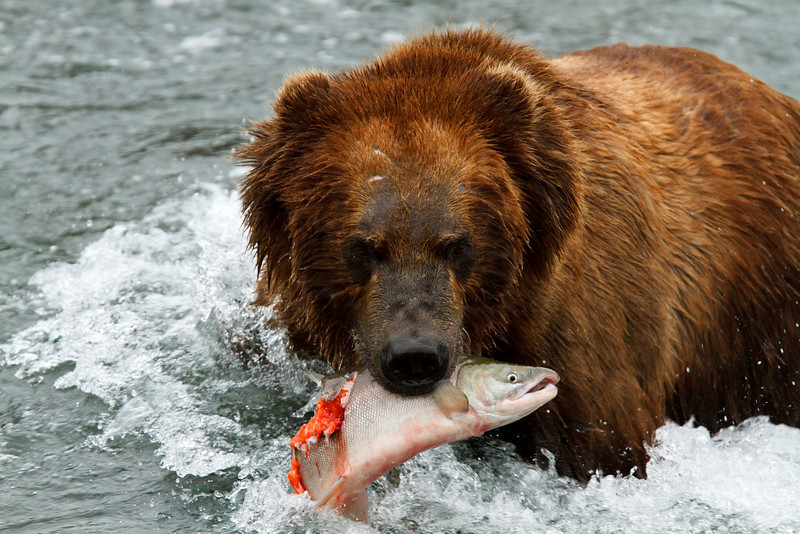A brown bear returns to shore to finish eating his freshly caught salmon