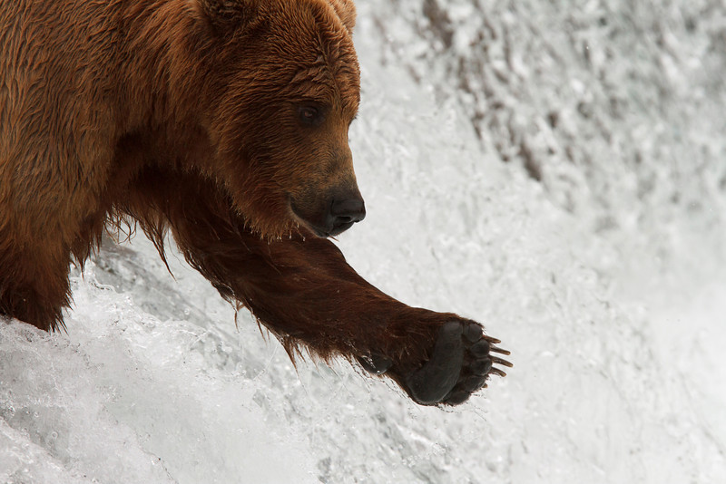 Here, fishy, fishy.  A young brown bear seems to be enticing the salmon to jump.
