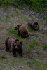 Grizzly Bear sow and yearling cubs