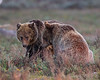 Wild Grizzly Bears Sub Adults