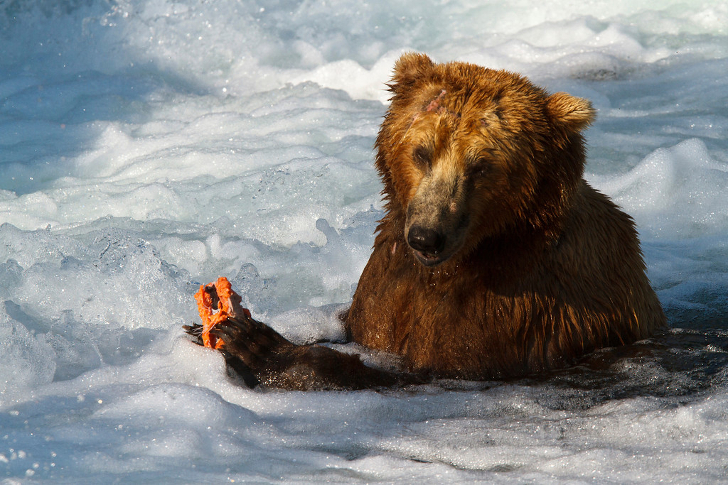 """This brown bear was one of the most proficient at catching salmon.  He would sit in the """"jacuzzi"""" with his paws below the water.  When a salmon would run into him, he'd trap it with his paws and reach down to get it, eating it right there at the base of the falls."""