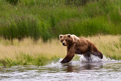This sow brown bear charges into the river