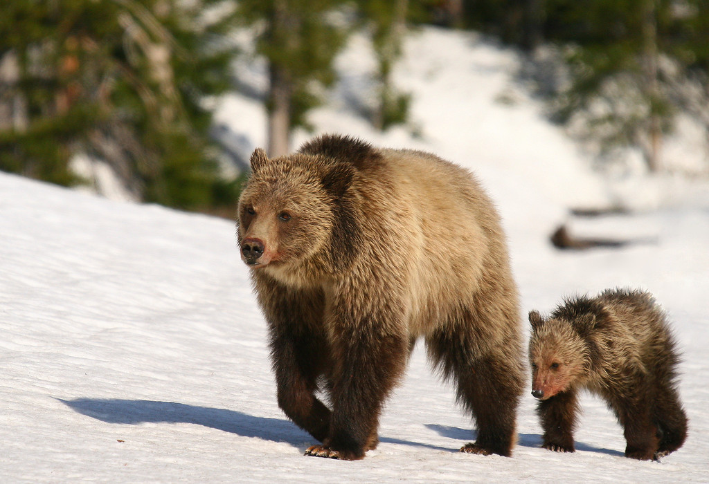 A sow and her year and a half old cub walk along a snowbank