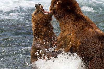 Full-on fights are usually rare due to the pre-determined pecking order at the Falls.  However, every once in a while the bears will show their true power.
