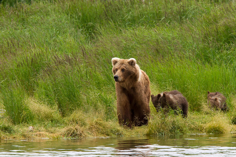 A sow brown bear walks the shore line with her four cubs of the year never far behind.