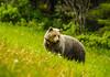 Grizzly Bear, Kananaskis