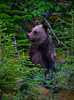 Grizzly Bear yearling cubs