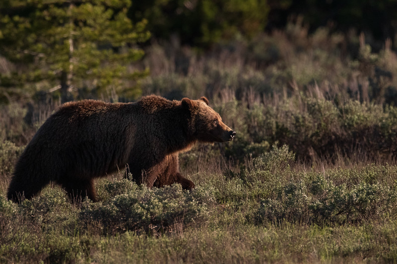 Wild Grizzly Bears Courting