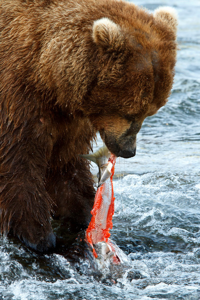 An adult brown bear tears the skin off a fresh salmon.  The skin has the largest concentration of fat, so during times of good fishing, the adults will usually tear off the skin and let the rest of the salmon float down the river, where smaller bears will likely find and eat it.