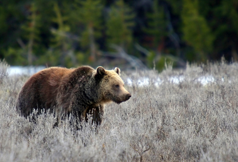 Young grizzly boar