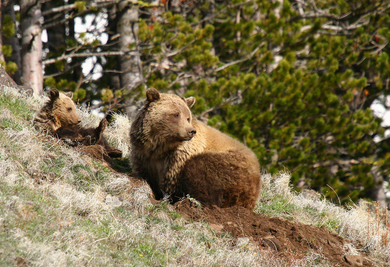A grizzly sow and her cub dig into the mountainside for worms and grubs