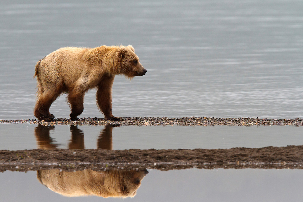 A young sub-adult brown bear walks along a gravel bar