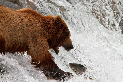 A male brown bear swipes at a jumping salmon.