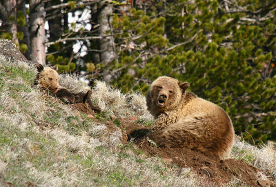 Grizzly sow and her cub