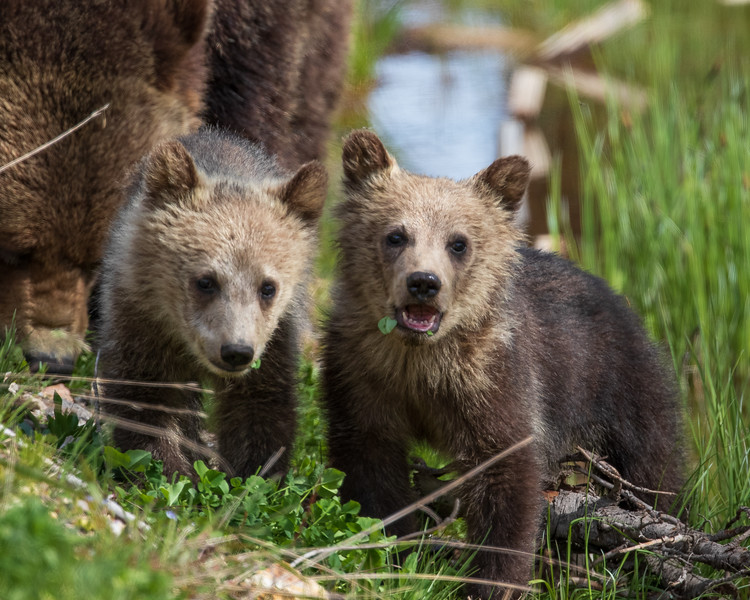 Wild Grizzly Bear Sow with Cubs