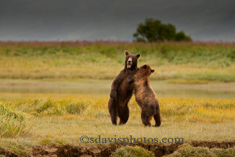 Grizzly Bear (brown bear)