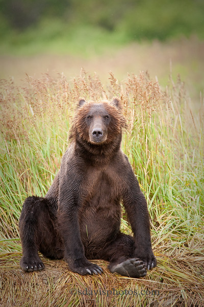 """Grizzly Bear (brown bear)<br />  <a href=""""http://www.katmai-wilderness.com/"""">http://www.katmai-wilderness.com/</a>"""