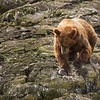 "Brown Bear (Grizzly)<br />  <a href=""http://www.katmai-wilderness.com/"">http://www.katmai-wilderness.com/</a>"