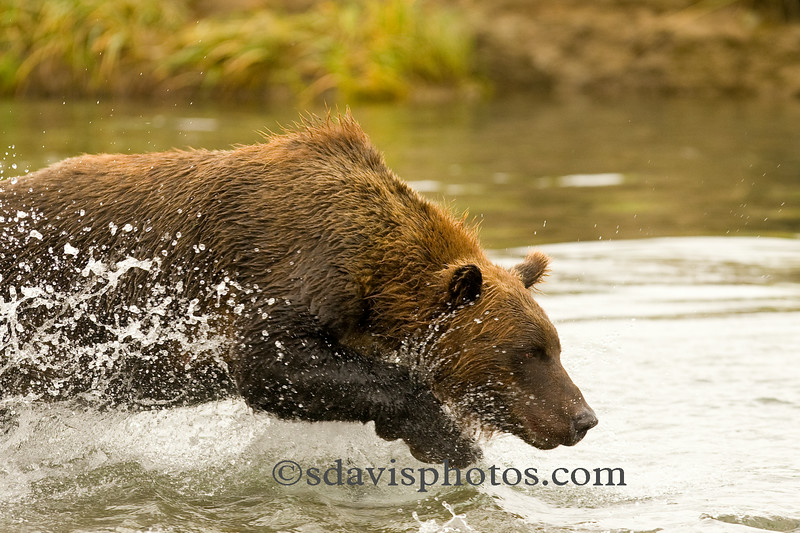 "Grizzly Bear (brown bear)<br />  <a href=""http://www.katmai-wilderness.com/"">http://www.katmai-wilderness.com/</a>"