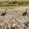 Sandhll Cranes