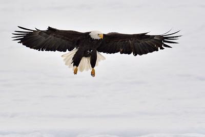 Bald Eagles, Haines, AK, November 2012