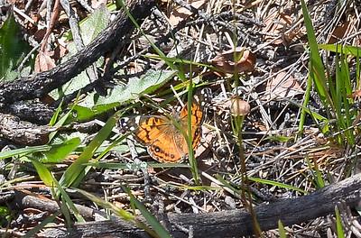 Kamehameha Butterfly, taken at haleakala, Maui, Hawaii