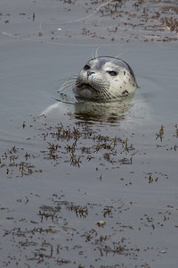 Harbor Seal Pup V
