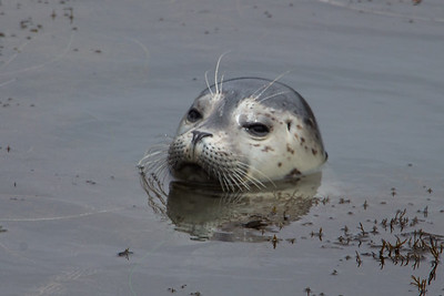 Harbor Seal Pup VIII
