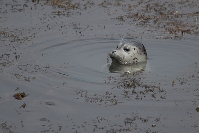 Harbor Seal Pup III