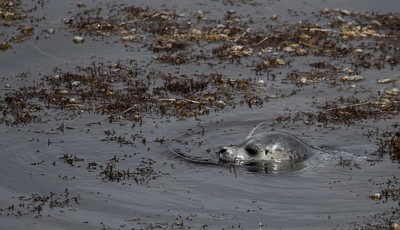 Harbor Seal Pup II
