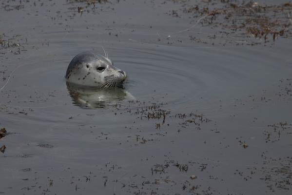 Harbor Seal Pup VI