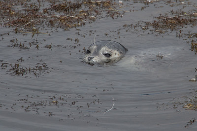 Harbor Seal Pup I
