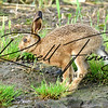 Hares russellfinneyphotography (7)