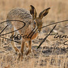 Hares russellfinneyphotography (22)
