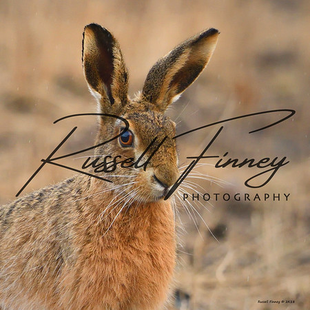 Hares russellfinneyphotography (27)