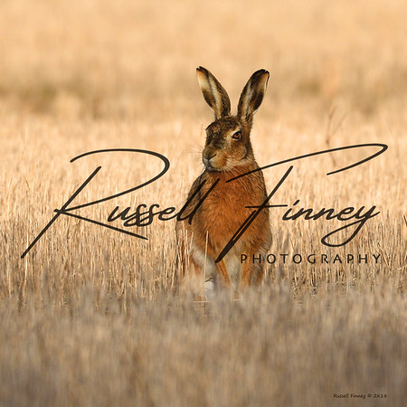 Hares russellfinneyphotography (47)