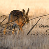 Hares russellfinneyphotography (57)