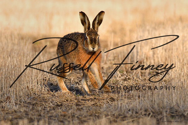 Hares russellfinneyphotography (60)