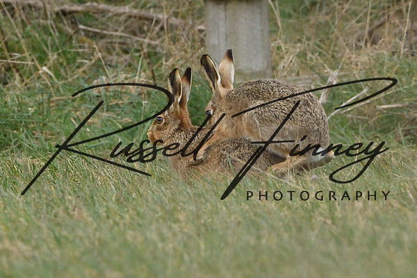 Hares russellfinneyphotography (87)