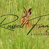 Hares russellfinneyphotography (106)