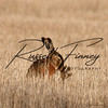 Hares russellfinneyphotography (42)