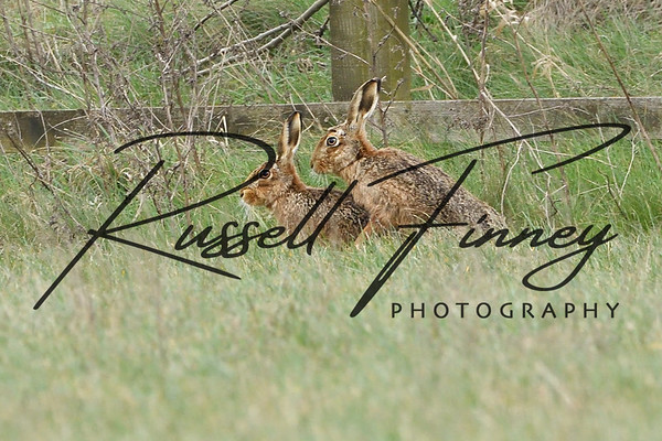 Hares russellfinneyphotography (100)