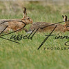 Hares russellfinneyphotography (104)