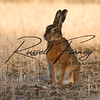 Hares russellfinneyphotography (52)