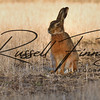 Hares russellfinneyphotography (53)