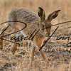 Hares russellfinneyphotography (21)
