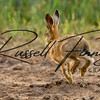Hares russellfinneyphotography (3)