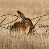 Hares russellfinneyphotography (41)