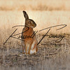 Hares russellfinneyphotography (56)
